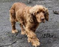 """Name: Elka<br/> Geschlecht: Weiblich<br/> Geburtsjahr: 2012<br/><a href=""""/cocker-weiblich/elka/"""">Hier klicken für weitere Informationen</a>"""